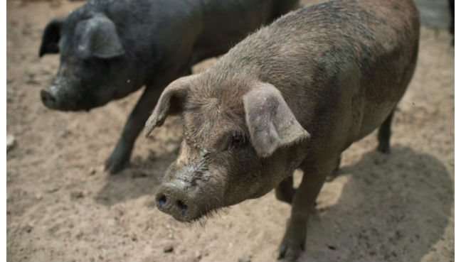China reports 4th outbreak this month of African swine fever