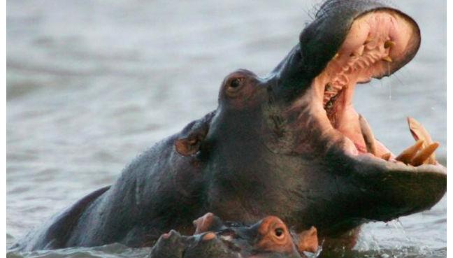 Hippo kills Chinese tourist in Kenya