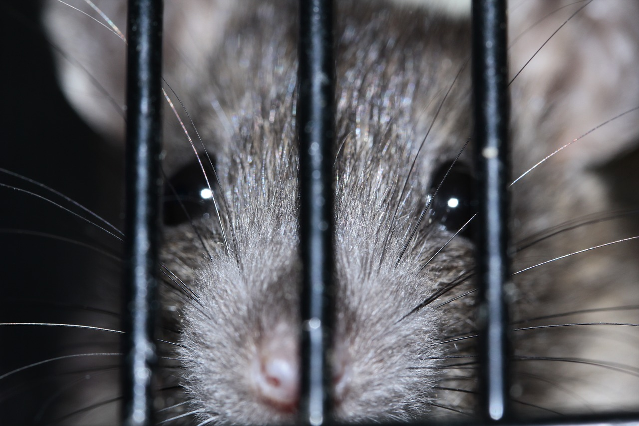 First human diagnosed with rat disease in China