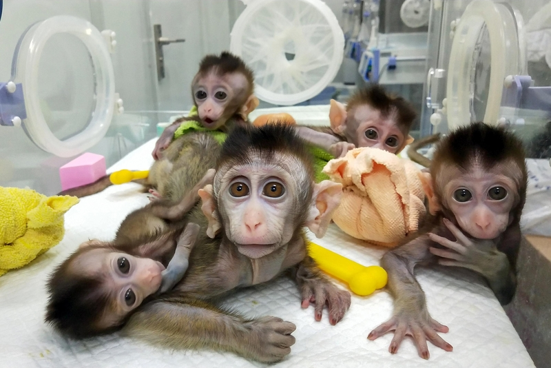 5 gene-edited monkeys cloned by China for human disease research