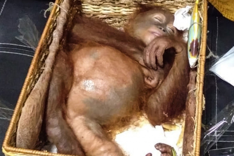 Russian man caught attempting to smuggle orangutan in luggage