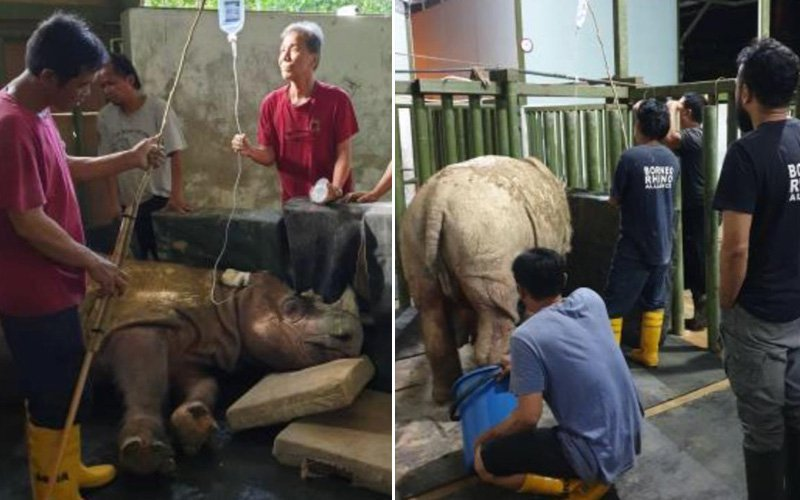 Malaysia's last male Sumatran rhino has died - leaving just one female alive