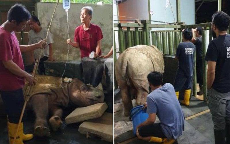 Malaysia's final male Sumatran rhino dies