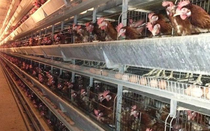Vet Dept to probe 'unsanitary' egg farm supplying to hypermarket