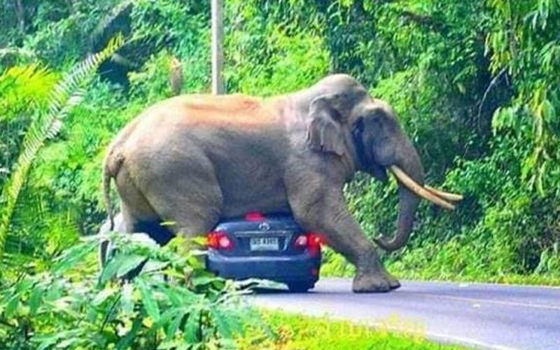 Cemas Pelancong Dihempap Gajah Liar Di Thailand Free Malaysia