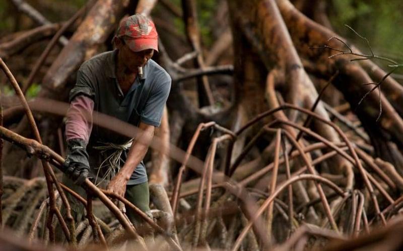 mangrove-reuters-1