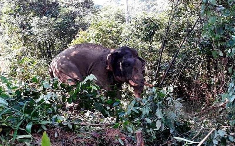 Perhilitan Pindah Gajah Jantan Liar Di Tanah Merah Free Malaysia