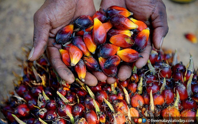 Palm oil futures facing biggest drop in 16 months