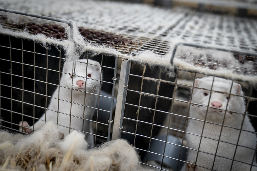 Denmark to dig up millions of mink culled over virus