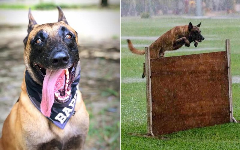 Baros the Belgian Shepherd is an absolute top dog