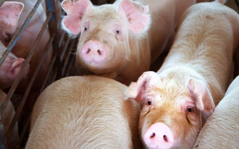 freemalaysiatoday.com - ETX Studio - Huawei to modernise pig farms with facial recognition